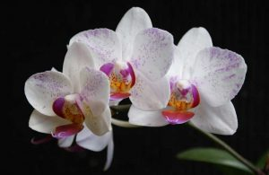 How to save orchid flowers