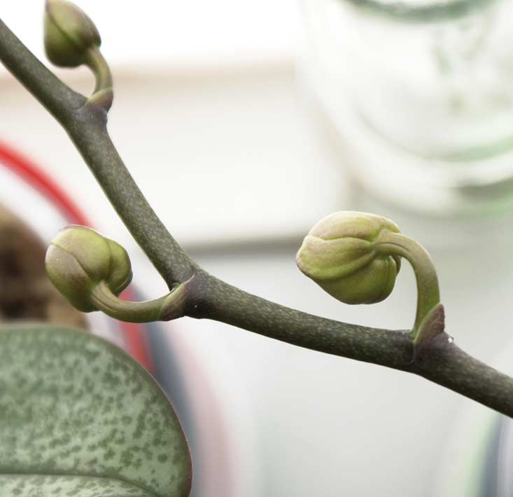 save orchid flowers buds