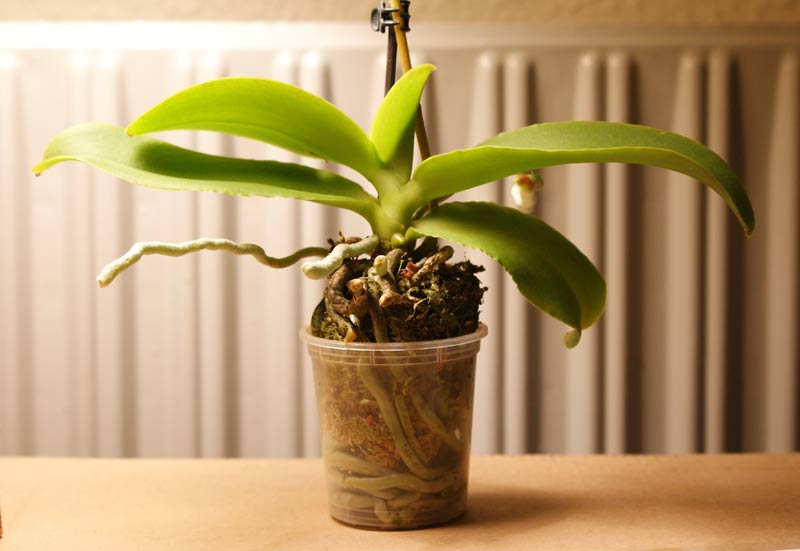 Cut overgrown orchid roots