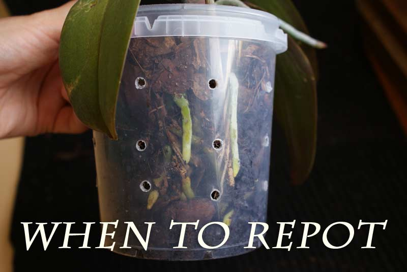 When Should I Repot My Orchid Plant Orchid Friends