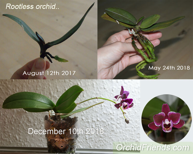 How to save an orchid