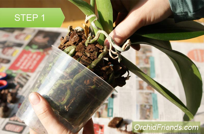 Repot-Orchid-Step-1