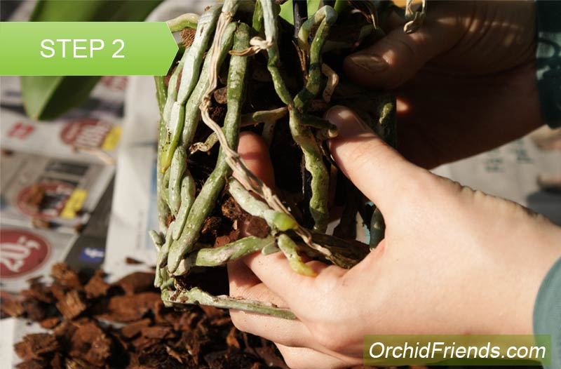 Repot-Orchid-Step-2