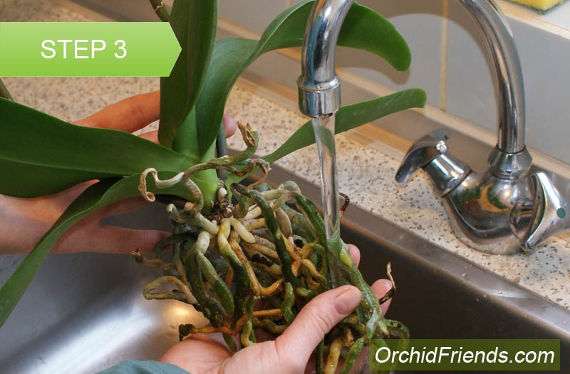 How To Repot An Orchid Complete Beginner Step By Step Guide
