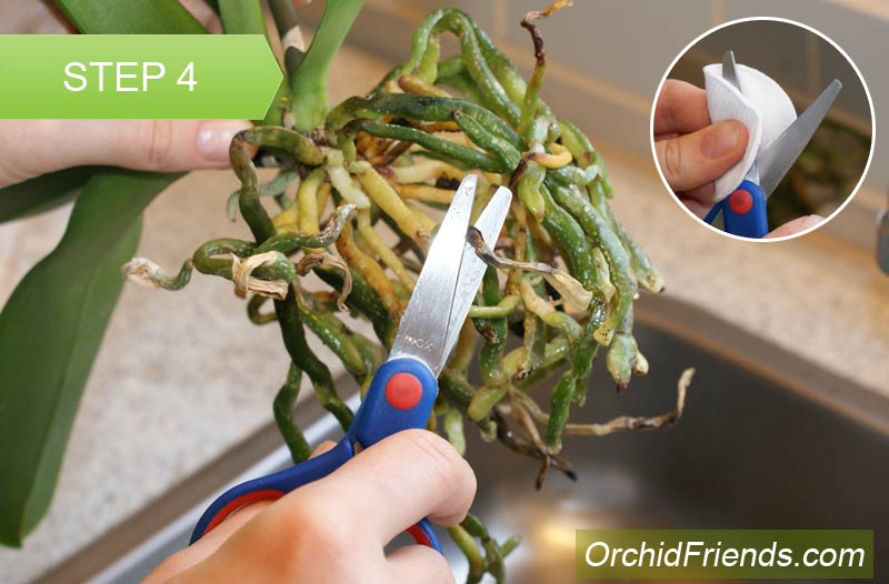Repot-Orchid-Step-4
