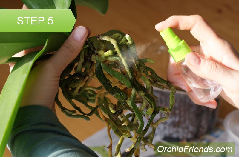 Repot-Orchid-Step-5