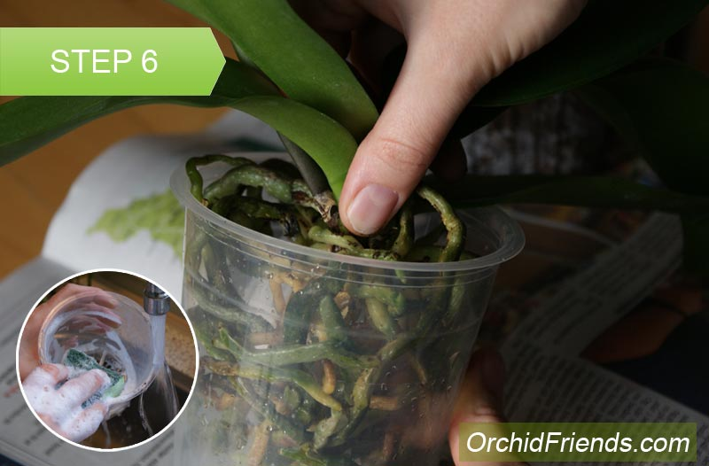 Repot-Orchid-Step-6