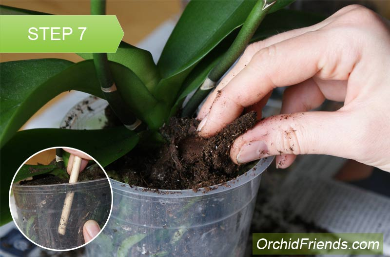 Repot-Orchid-Step-7