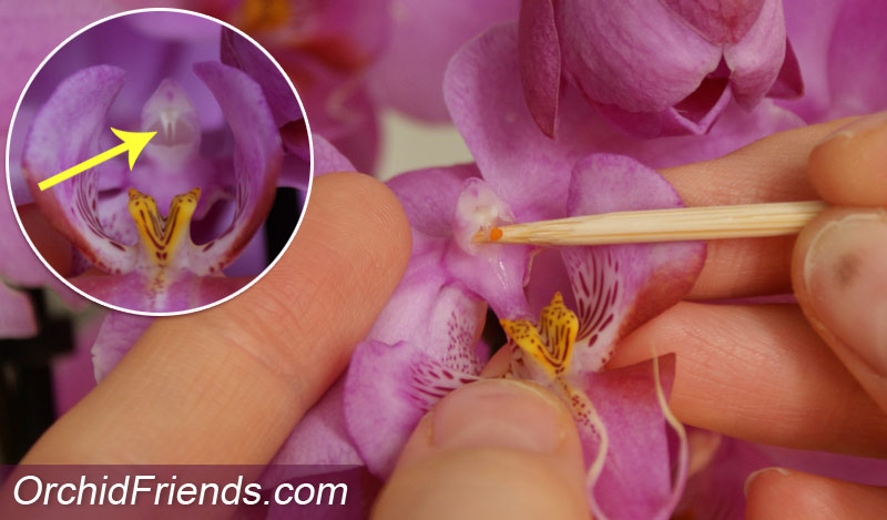 Orchid flower pollination instructions