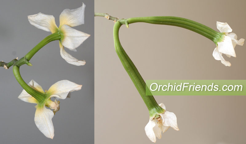 Orchid seedpods