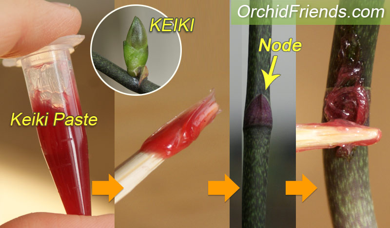 Orchid keiki paste instructions