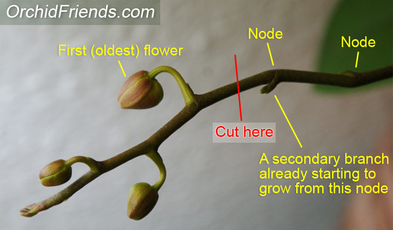 How to cut an orchid spike
