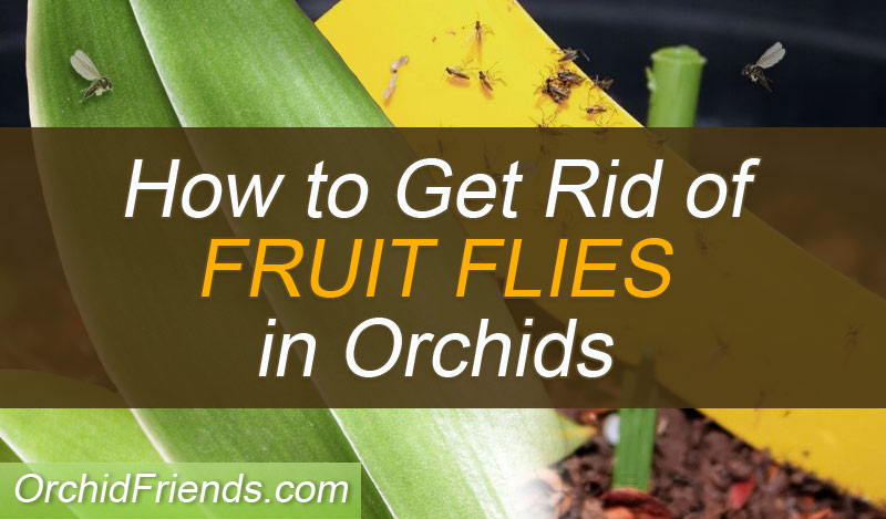 How to get rid of fruit flies in orchids