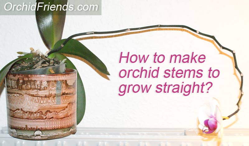 How to orchid stems straight