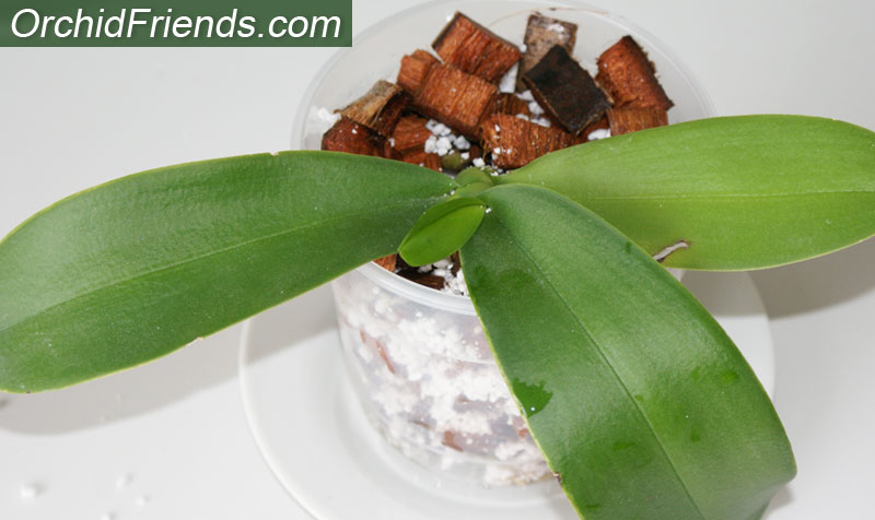 Plant orchid coconut husk chips