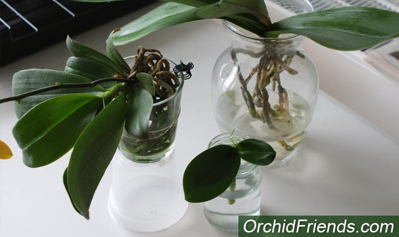 Water-culture for Orchids
