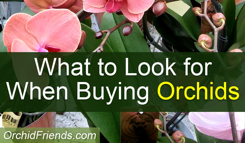 What to look for when buying orchids