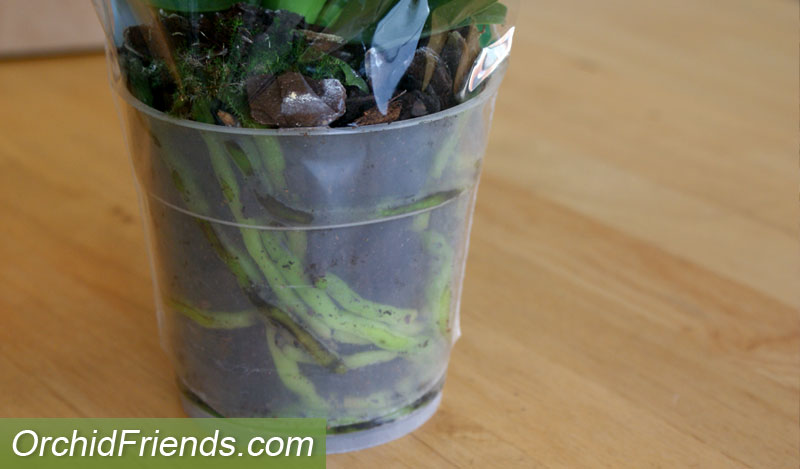 Inspect the roots when buying a new orchid