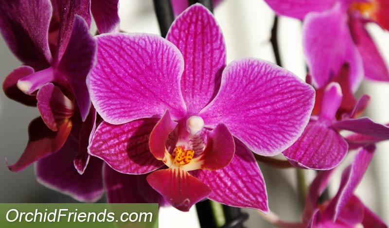 Inspect the flowers when buying a new orchid