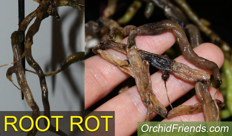 Root rot in Phalaenopsis orchids