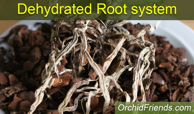 Dehydrated root system