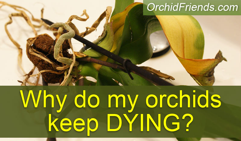 Why do my orchids keep dying?