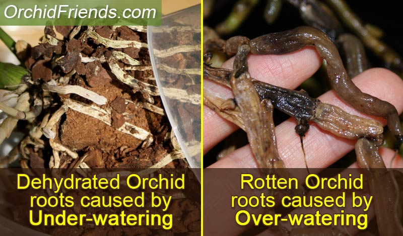 Orchid roots under-watering & over-watering