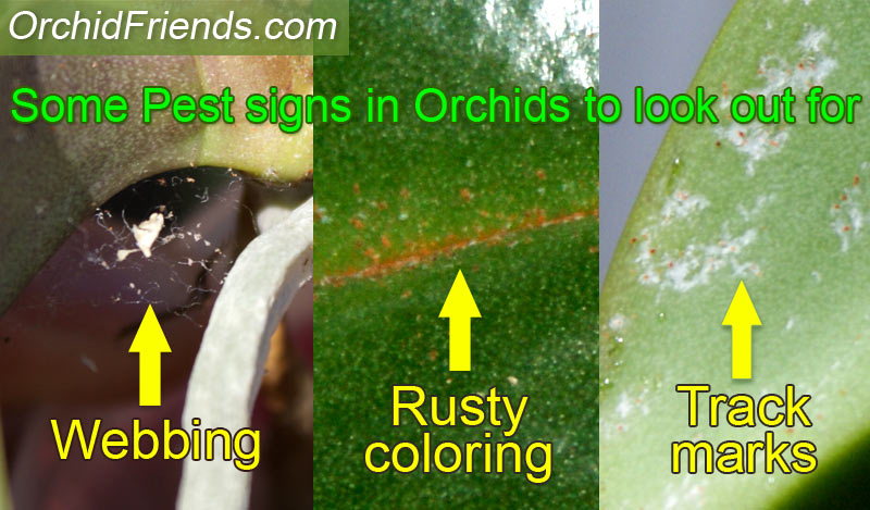 Orchid pest signs