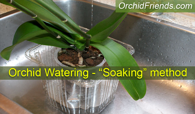 Correct watering of your orchid