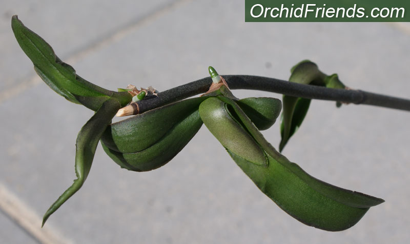How detach a keiki from mother orchid