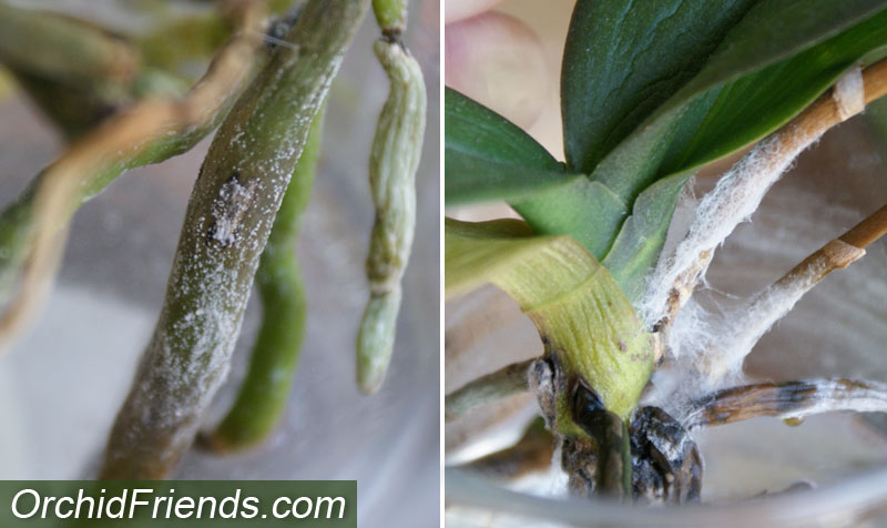 Mold and Rotting in Water Culture for Orchids