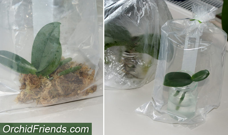 Plastic bag method for dehydrated orchids