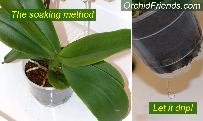 Water orchid properly