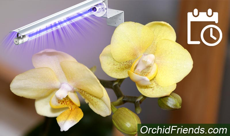 Timing artificial grow lights for orchids