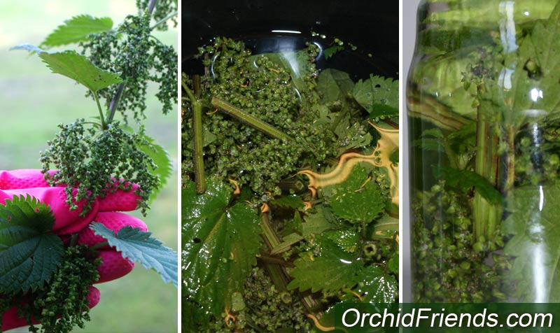 Nettle tea water for orchids