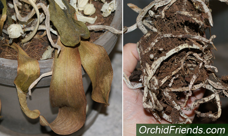 Dehydrated Phalaenopsis Orchid