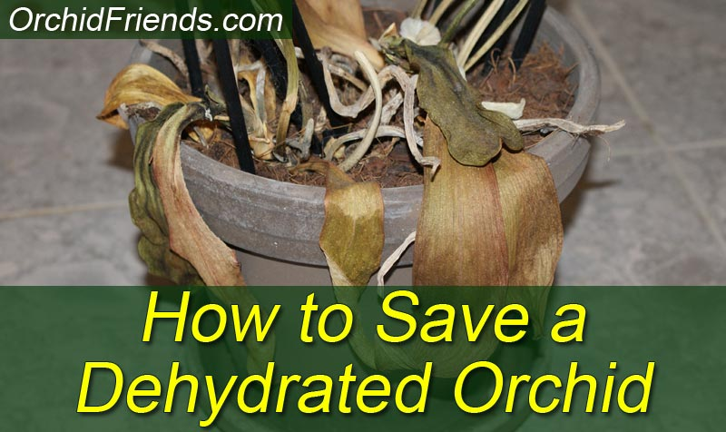 How to Save a Dehydrated Orchid