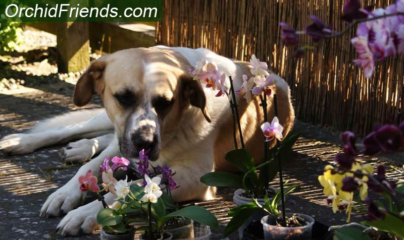 Phalaenopsis orchid pet-safety