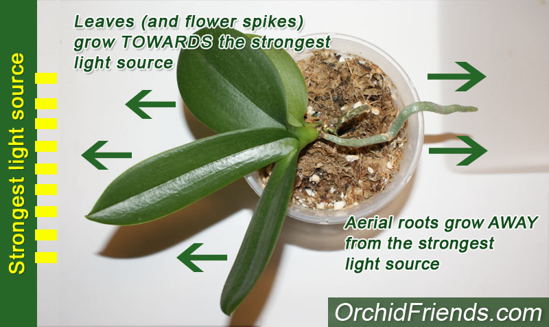 Orchid root growth