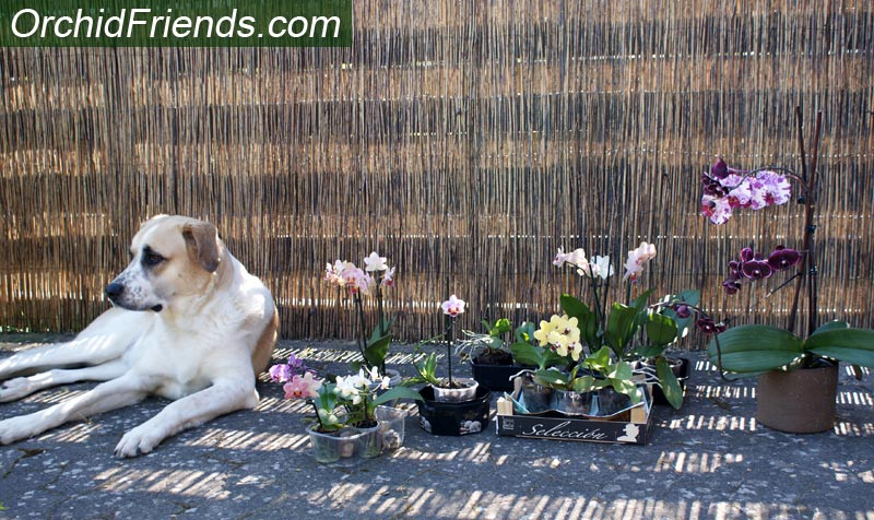 Orchids safe for dogs
