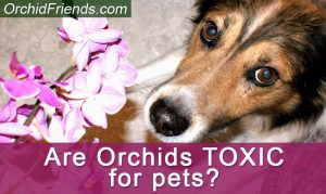 Are Orchids Toxic to Pets
