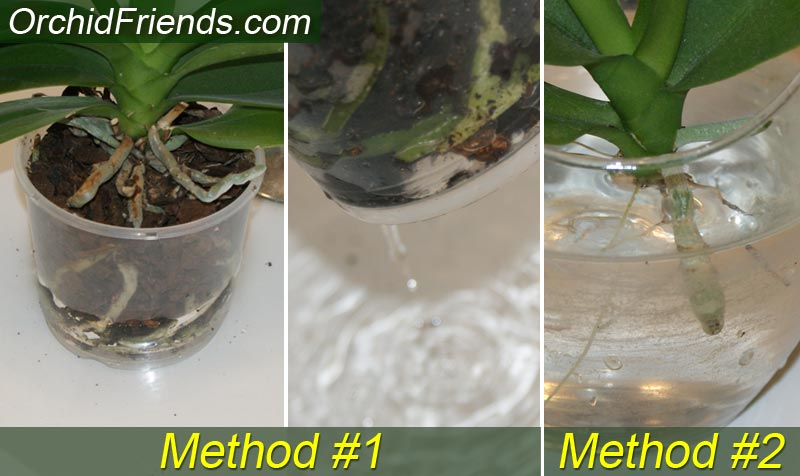 Water your dehydrated orchid